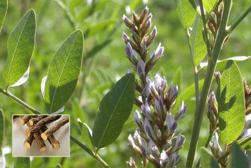 Glycyrrhiza glabra - Mulethi
