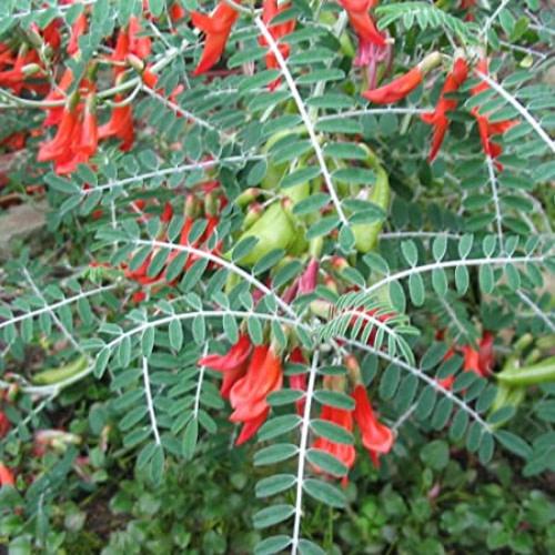 Sutherlandia frutescens - Insiswa