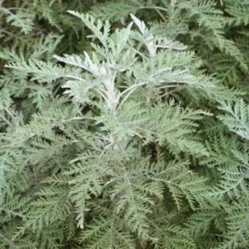 Artemisia afra Jacq. ex Willd - Umhlonyane