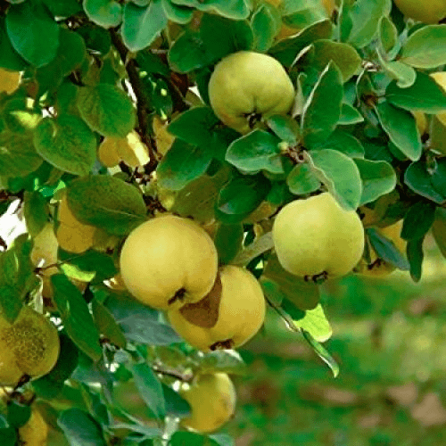 Aegle marmelos - Bael