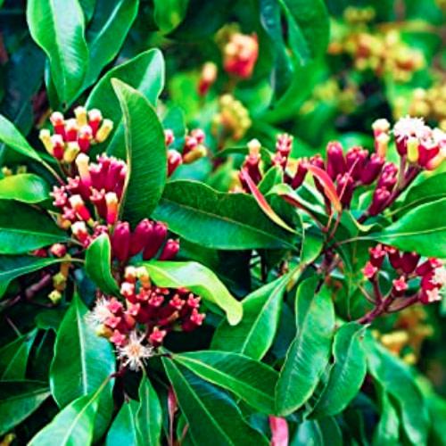 Syzygium aromaticum - Grampu