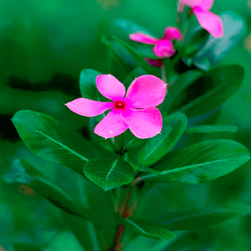 Catharanthus - Periwinkle
