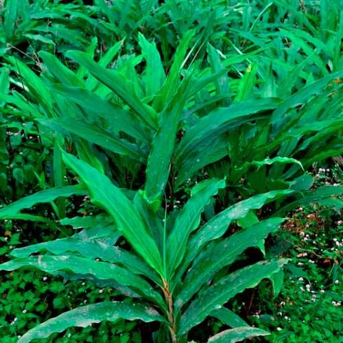 Elettaria cardamomum - Cardamom - Elakka