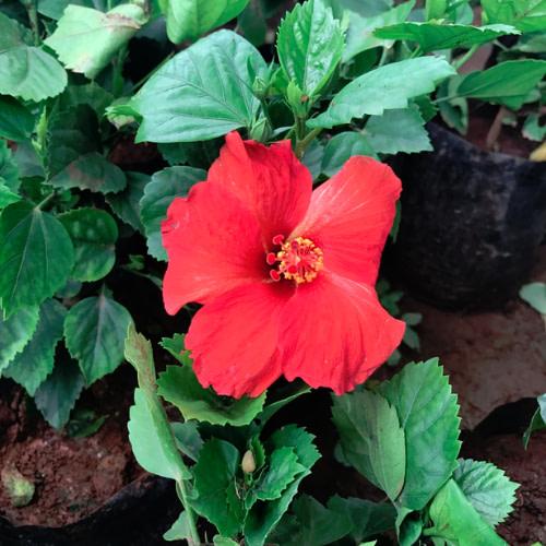 Hibiscus rosa-sinensis - Chembarathi