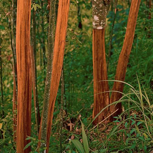 Cinnamomum verum - Cinnamon - Patta
