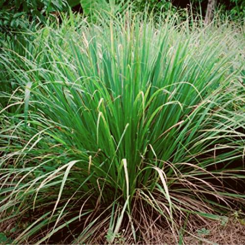 Cymbopogon- Lemon Grass - Tharuvapullu