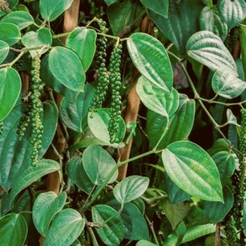 Piper nigrum -Pepper - Kurumulaku