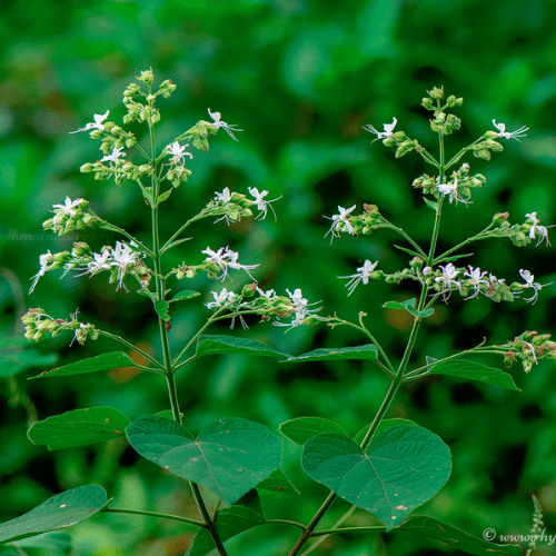 Clerodendrum infortunatum - Peruvalam