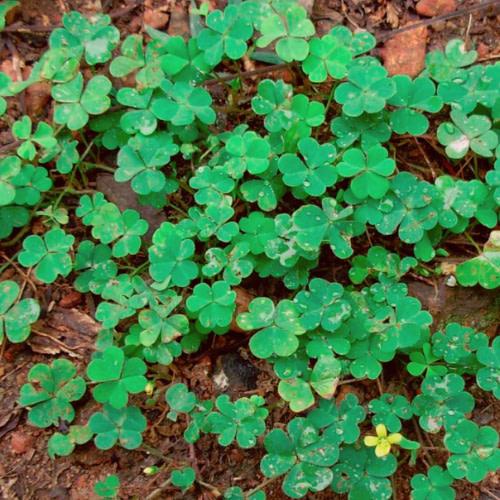 Oxalis corniculata - Puliyarila