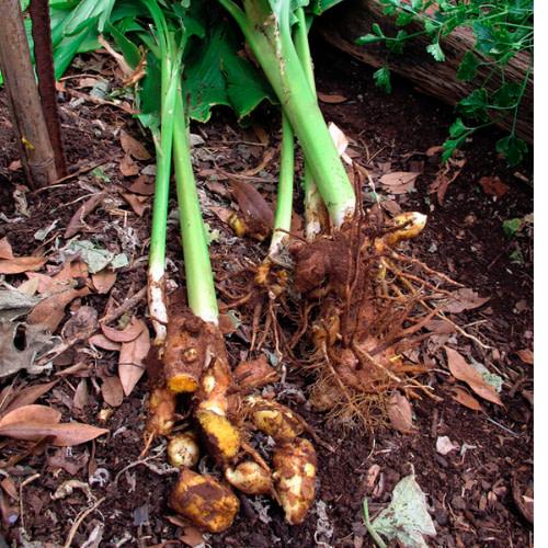Curcuma longa - Turmeric - Manjal