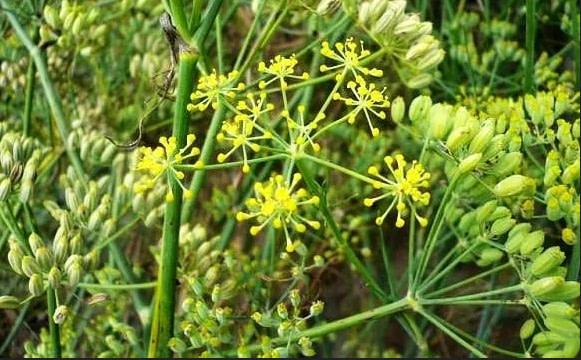Foeniculum Vulgare - Saunf