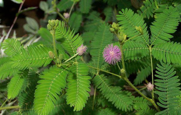Mimosa pudica - Thottavadi