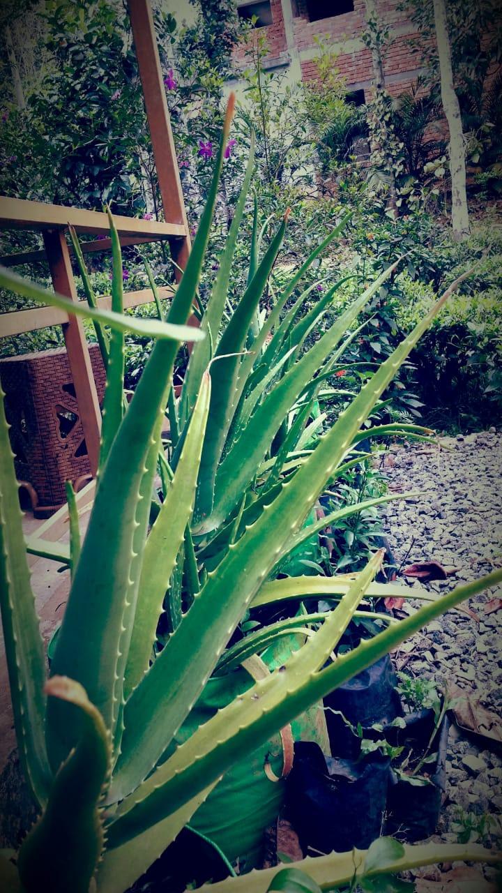 Aloe barbadensis miller - Kattarvazha