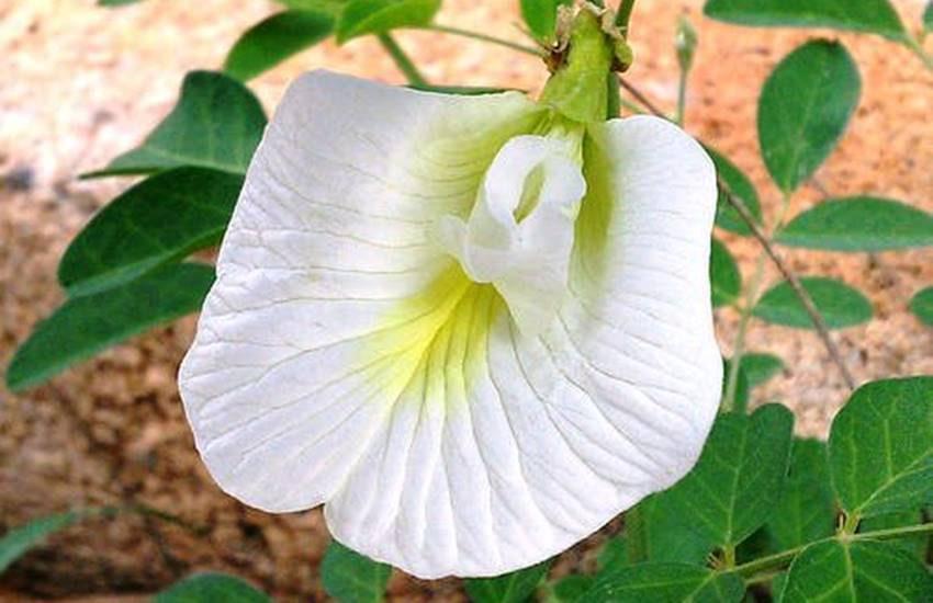 Clitoria Ternatea - Shankupushpam